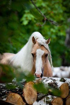 Palamino Stallion...Beautiful