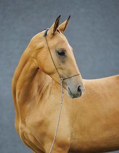 #horse #akhal #teke #aelita