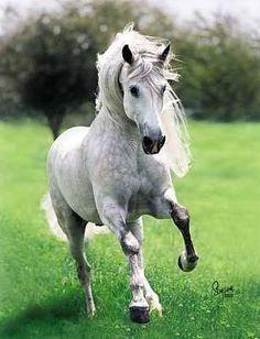 Andalusian Horse   http://4.bp.blogspot.com/-QIWeN2bQHrs/Tj6SkoD1rsI/AAAAAAAAA6w/q9lXQ6Zg3K4/s400/1207255812053573005S425x425Q85.jpg
