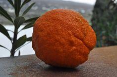 Λειβάδια Ανδρου: Πορτοκάλι Ανδριώτικο
