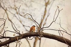 Spring Robin #FineArtPhotography by #laughlovephoto #spring #robin #homedecor #etsy