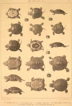 The Embryology of Turtles (Louis Agassiz (1807-1873)
