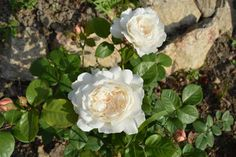 #Roses - William & Catherine David Austin Rose so pretty... 1st Blooms planted November 2014...