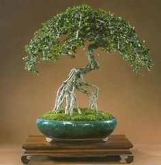 Juniper Bonsai !!