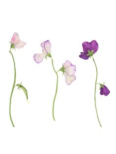 This original botanical watercolor painting depicts three stems of sweet peas in pinks and purples.  Sweet peas are one of the greatest joys