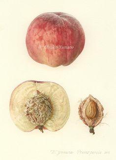 New Fruit Illustration Drawing Life Ideas Garden Illustration, Fruit Illustration, Watercolor Illustration, Illustration Styles, Fruits Drawing, Plant Drawing, Botanical Drawings, Botanical Prints, Watercolor Plants