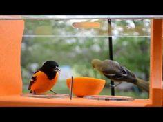 ▶ Wild Bird House : Orioles Everywhere Spring 2013 Baltimore Orioles & Female Orchard Oriole - YouTube
