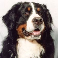 bernese mountain dog | How to care for a Bernese mountain dog : The Dogs Breeds