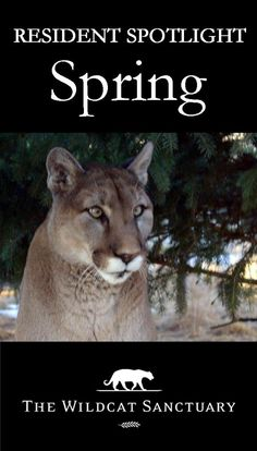 Having spent 9 years in a wire cage, bonding only to his human owners, it wasn't surprising that when Spring was surrendered to us, he didn't know he was a cougar. He was fearful, confused, wanting to run and hide, refusing to eat. You can read how his story turned out here: http://www.wildcatsanctuary.org/residents/small-cats/cougars/spring/