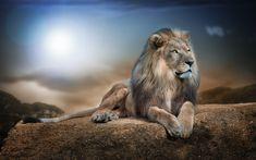 Animais Leão  Animais Papel de Parede