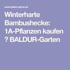 Winterharte Bambushecke: 1A-Pflanzen kaufen  BALDUR-Garten