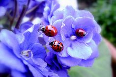 Lady bugs on purple flowers! They are after my heart!