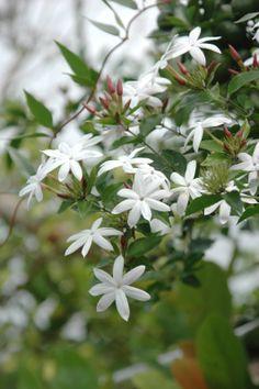 White Flowers, Jasmine Vine, Rose Flower, White Roses, Jasmine Flower, Plumeria, Beautiful Flowers, Fragrant Flowers, Flowers