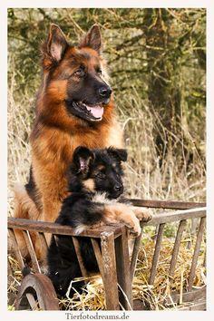 GSD & Puppy