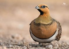 PIN TAILED SAND GROUSE by HakeemKokkodan via http://ift.tt/2anvcnL
