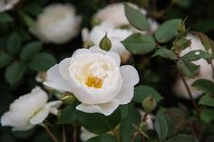 Growing roses: Michael Marriott of David Austin Roses shares advice on growing roses, tomaximise your rose blooms this year.