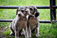 #GreatDane #Puppies