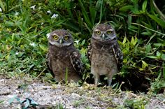 https://flic.kr/p/sLsN23 | Burrowing Owl Babies | Burrowing Owl Babies