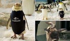 Adorable 'naked' penguin gets special wetsuit after feather loss