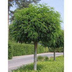 Bestel Robinia pseudoacacia 'Umbraculifera' – Echte Bol-Acacia -> Bomen in pot, zomeraanplant, Bomen, niet leverbaar in zomermaanden, Planten op stam voordelig en goedkoop in de webshop van Plantenweelde.