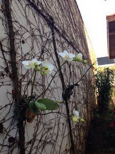 my Garden in Brazil mein Garten in Brasilien Orquidea na parede