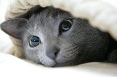 Russian Blue #russianblue #cat