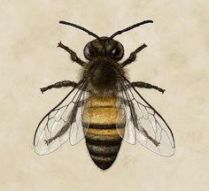 Western Honey Bee (Apis mellifera) by Robin K Herman https://www.pinterest.com/hein1546/t%C3%A4towierungen/