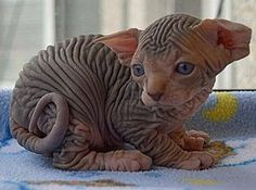 Sphynx kitten. somewhat strange looking but completely adorable.