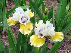 Standard Dwarf Bearded Iris (Iris 'Flirty Mary') - grannysgarden's Plant List (All Things Plants)