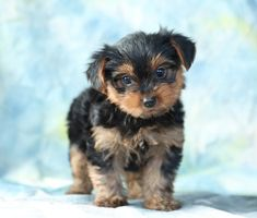 🐶😍 Say hello to these sweet #Yorkie puppies! These adorable and very #Playful puppies will make the perfect 🚗 traveling companion and an even better best friend. ▬▬▬▬▬▬▬▬▬▬▬▬▬▬▬▬▬▬▬ #Charming #PinterestPuppies #PuppiesOfPinterest #Puppy #Puppies #Pups #Pup #Funloving #Sweet #PuppyLove #Cute #Cuddly #Adorable #ForTheLoveOfADog #MansBestFriend #Animals #Dog #Pet #Pets #ChildrenFriendly #PuppyandChildren #ChildandPuppy #LancasterPuppies… Yorkie Puppy For Sale, Puppies For Sale, Puppy Love, Cute Puppies, Small Dog Breeds, Small Dogs, Lancaster Puppies, Mans Best Friend, Best Friends