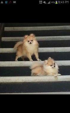 Pomeranian cuties