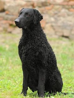 Curly Coated Retriever ~ Classic Look Curly Coated Retriever, Best Dog Breeds, Large Dog Breeds, Puppies And Kitties, Pet Dogs, Doggies, Braque Du Bourbonnais, Animal Z, Rare Dogs