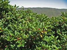 rhamnus californica - Google Search
