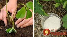 Jak jsem se zbavila mravenců na jahodách: Je to úplně jednoduché a mravenci se k jahodám už nepřiblížili!