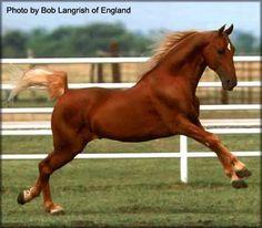 Tennessee Walking Horse Stallion - Generator's Charmer