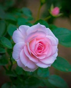 Beautiful Flowers Wallpapers, Beautiful Rose Flowers, Exotic Flowers, Amazing Flowers, My Flower, Pretty Flowers, Flowers Gif, Flowers Nature, Flower Pictures Roses