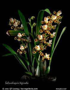 Solinidiopsis tigriodes. A species orchid