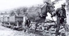 Un minero guía a la mula que tiraba de los vagones para extraer el carbón. - biblioteca pública