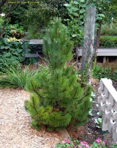 Pinus mugo 'Tannenbaum' -not on my official list, but I like the shape of Tannenbaum.