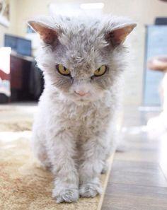 アルバートは、カーリーヘアの不機嫌猫 scowling-curly-haired-cat