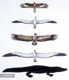 Prehistoric birds, comparison of wings of  two prehistoric birds (Teratornis incredibilis and Osteodontornis) and two extinct birds (eagle and albatross), illustration  Biology, Zoology