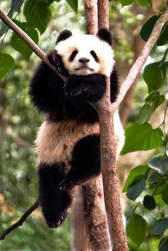 Chengdu Panda by Paul Cowell, via Flickr