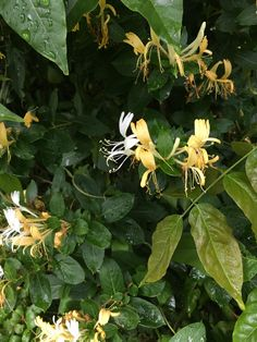 The smell of honeysuckles