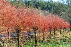 Salix alba L. 'Britzensis'
