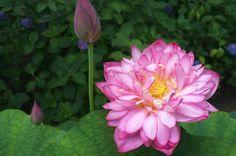 Sketch On Kyoto: Sacred Lotus