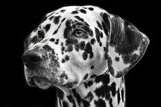 Dalmatian. Free image by our member 'cocoparisienne': https://pixabay.com/en/dalmatians-dog-animal-head-765138/