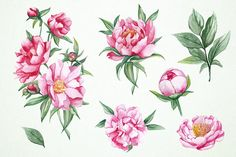 Watercolor Peonies Clipart PSD