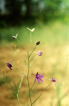 Mezei szarkaláb (Consolida regalis, Ranunculaceae) (Turcsányi Gábor felvétele)