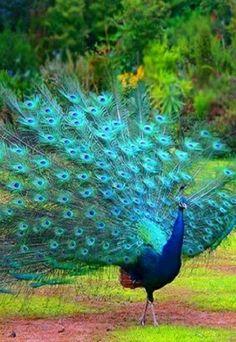 Peacock                                                                                                                                                                                 Más