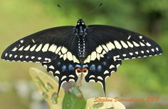 Black Swallowtail (Papilio polyxenes) - We have an egg on a fennel plant!
